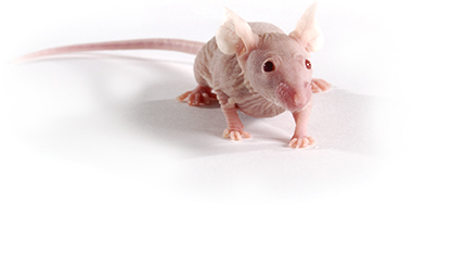 Athymic Nude Mouse