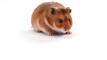 Our LVG Golden Syrian Hamster can be used for coronavirus research