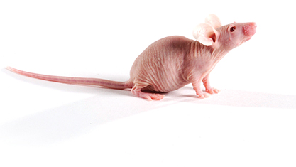 SCID Hairless Outbred (SHO®) Mouse | Charles River Laboratories.