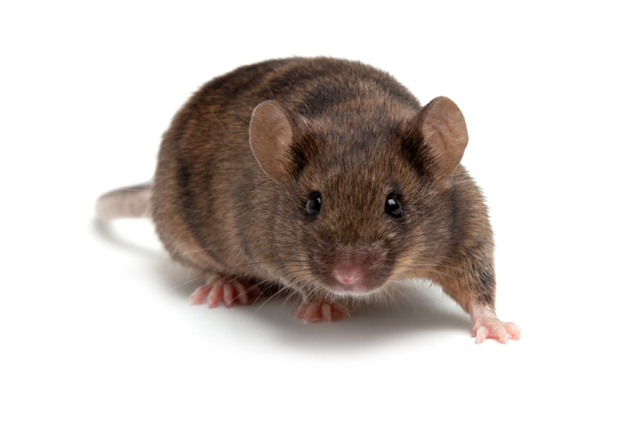 Transgenic Mouse and Rat Model Creation