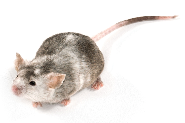 genetically modified mouse model of autism spectrum disorders