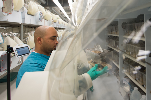 animal technician working with genetically engineered mice in isolator