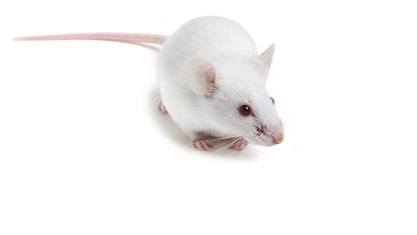 The NCG mouse model is best suited for tumor and immunology studies