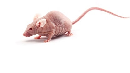 SKH1 Hairless Mouse