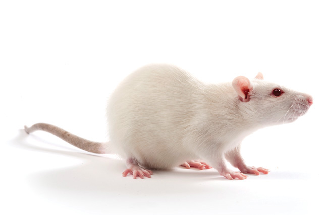 white rat model used in drug discovery studies for new schizophrenia treatments