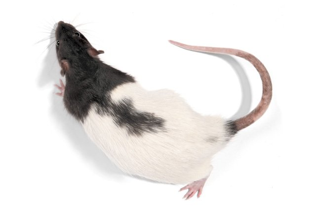 dorsal view of ZDF rat