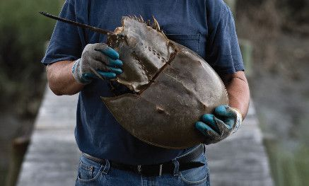 man on a wooden dock holding a horseshoe crab