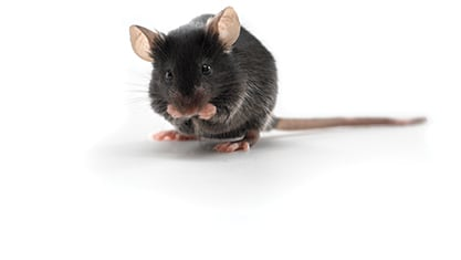 C57BL/6 mice are most commonly used as the genetic background for transgenic mouse models