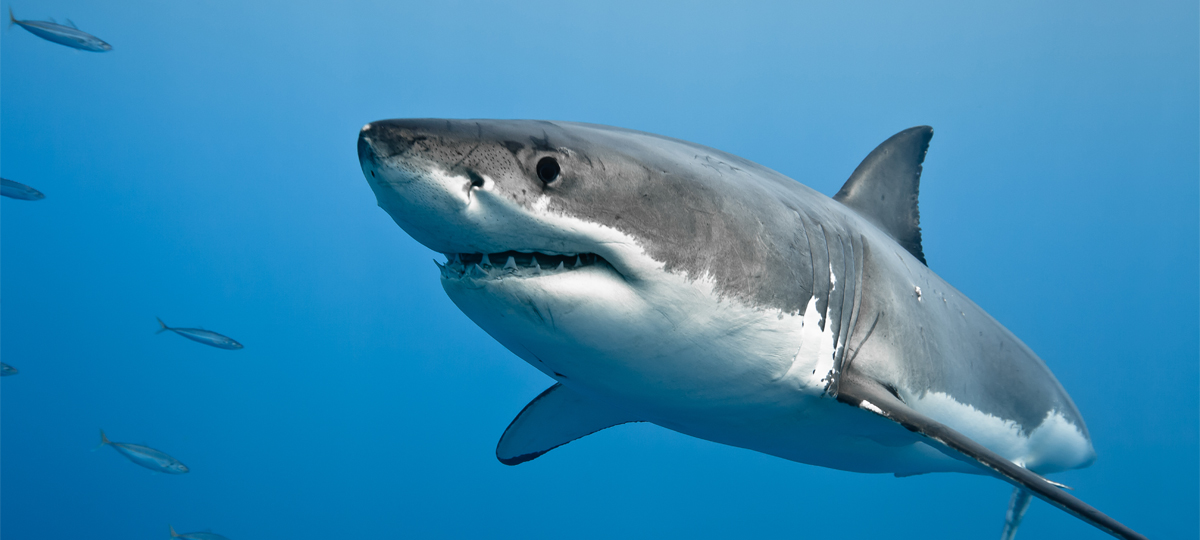 Great Whites: Oncology's Great Hope? (Abstract Science: Feb 18-22)