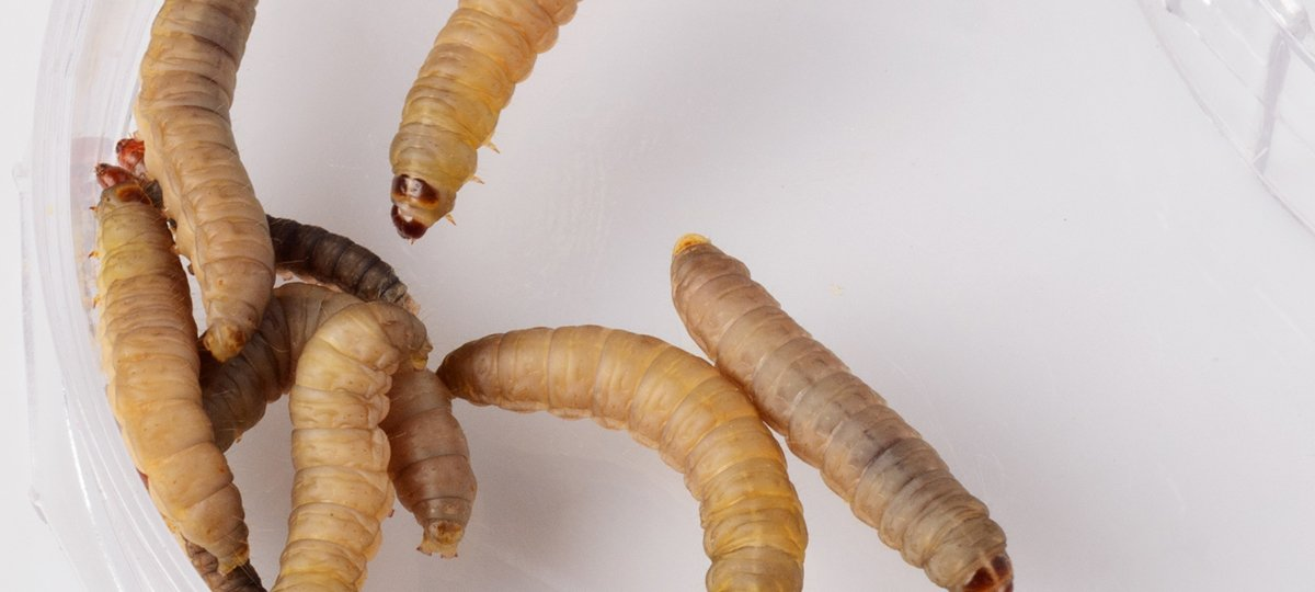 Combating AMR Using Wax Moth Larvae