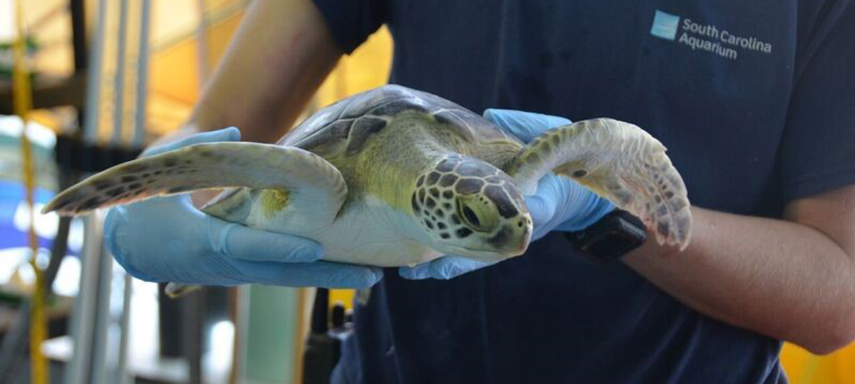 Saving Sea Turtles: Zazu's Second Chance at Survival