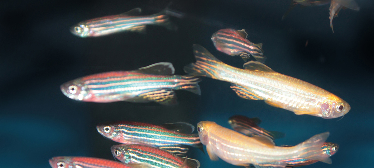 Zebrafish Nutrition: What We Know and Don't Know