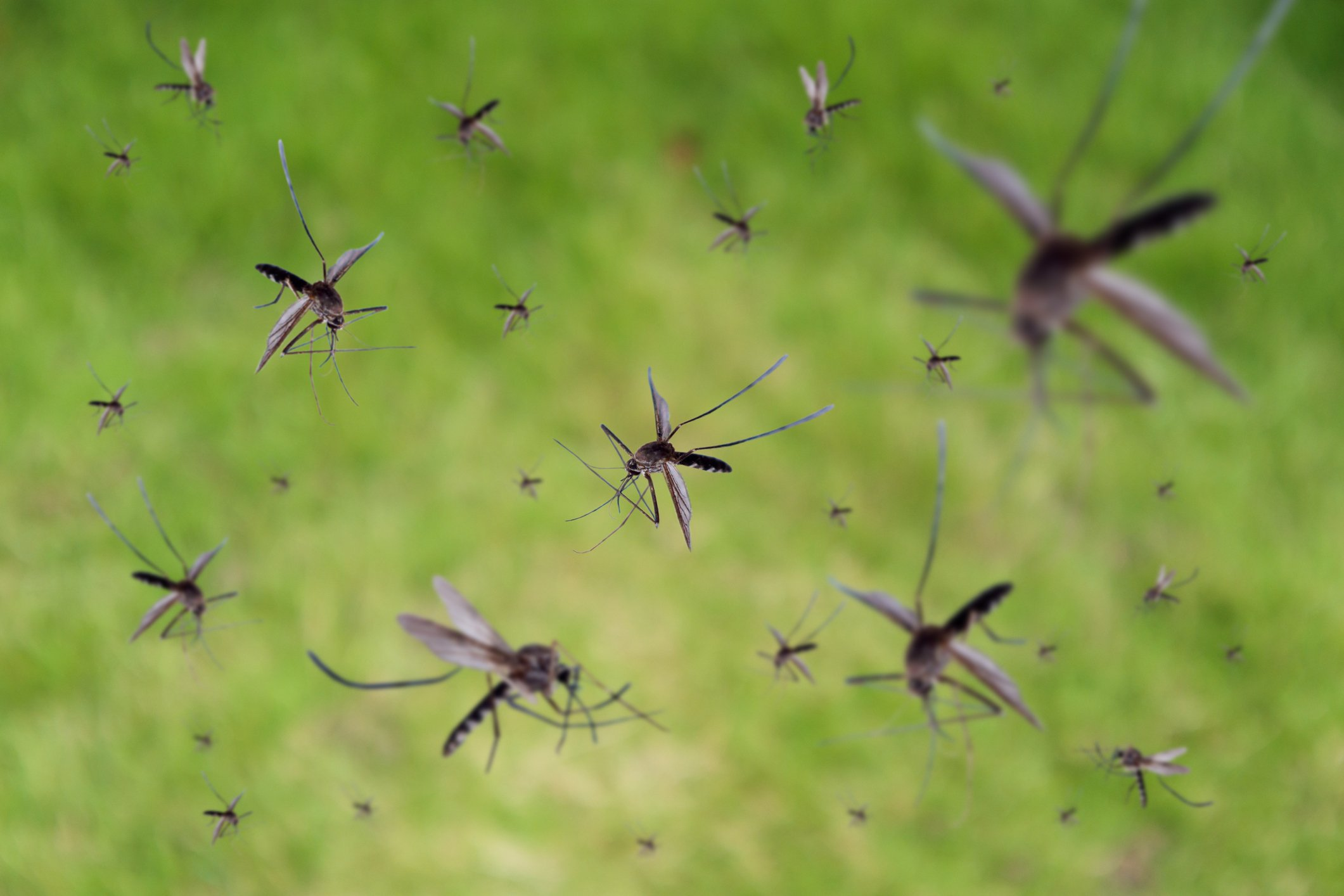 Modified Mosquitoes to Fight Disease (Abstract Science, Aug. 16 - 22)