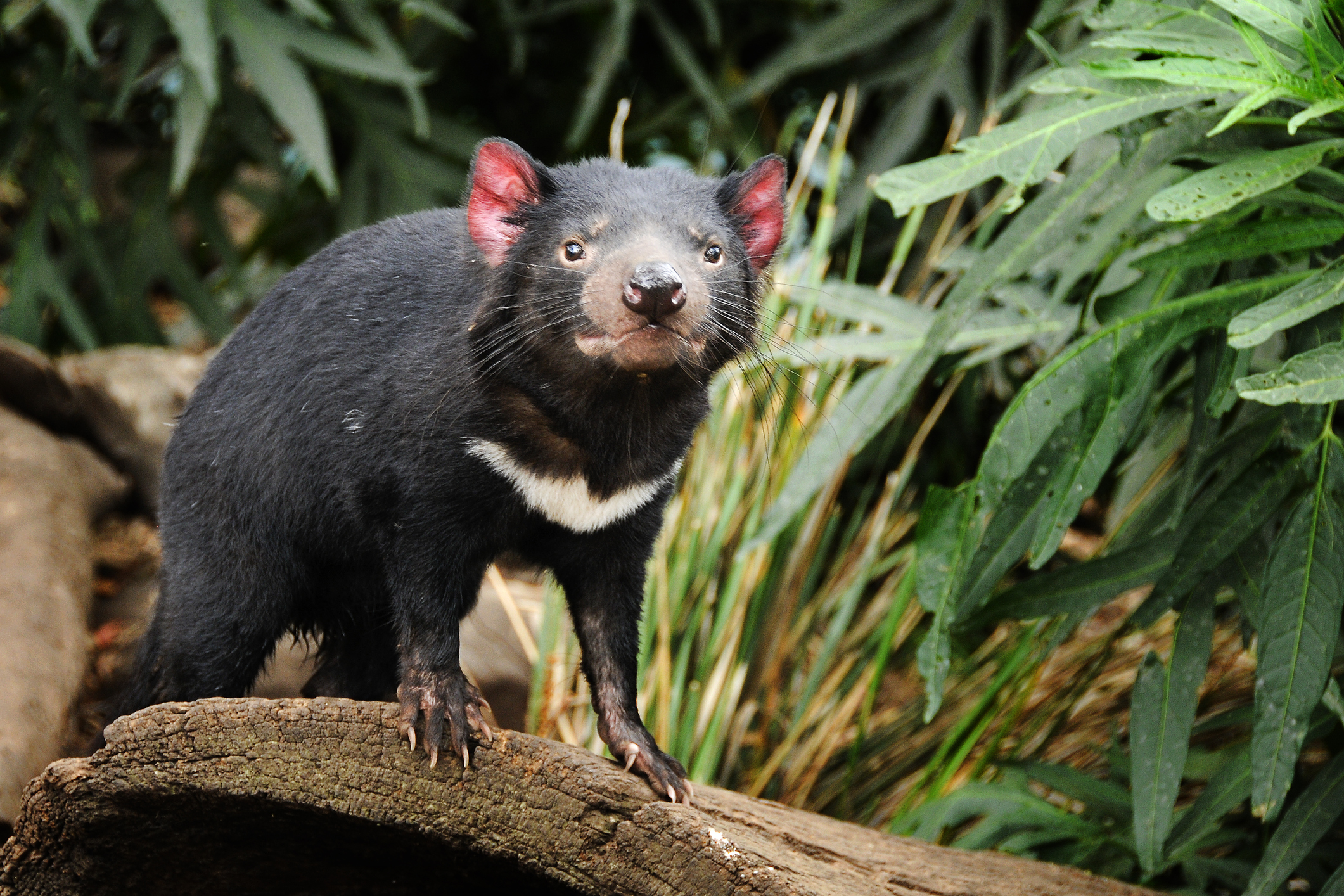 Hope for the Tasmanian Devil (Abstract Science, Aug. 2 - 8)
