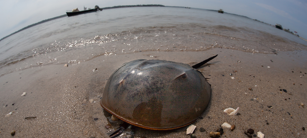 The Importance of Horseshoe Crab Habitats