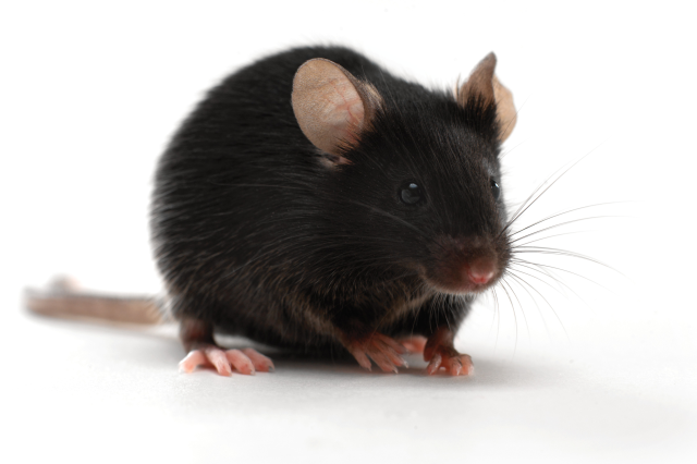 Charles River provides high-quality, translational knockout mice for gene research and drug development