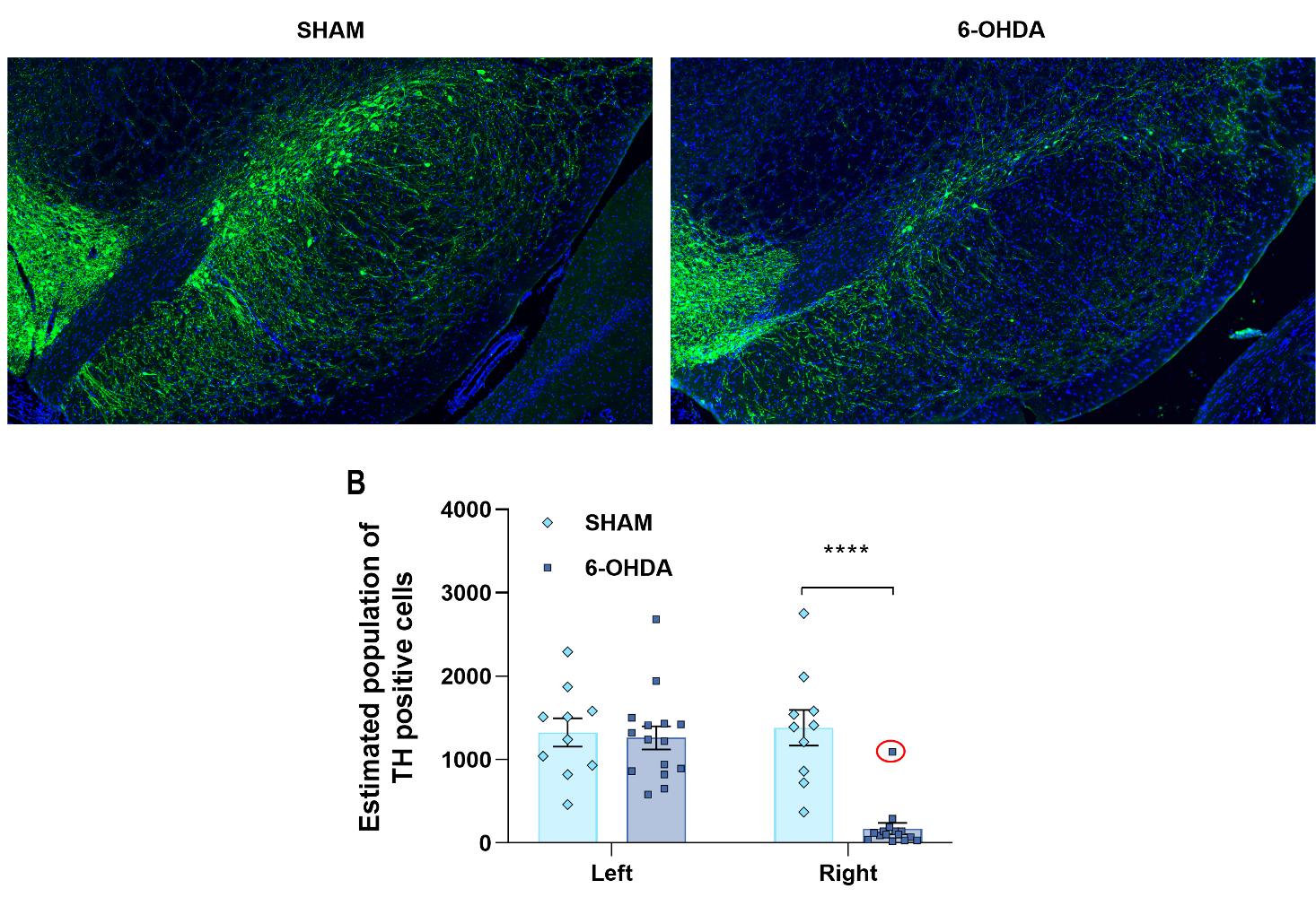 Immunohistochemistry of striatum of Vehicle versus 6-OHDA treatment groups and a graph of the quantification of these two groups.