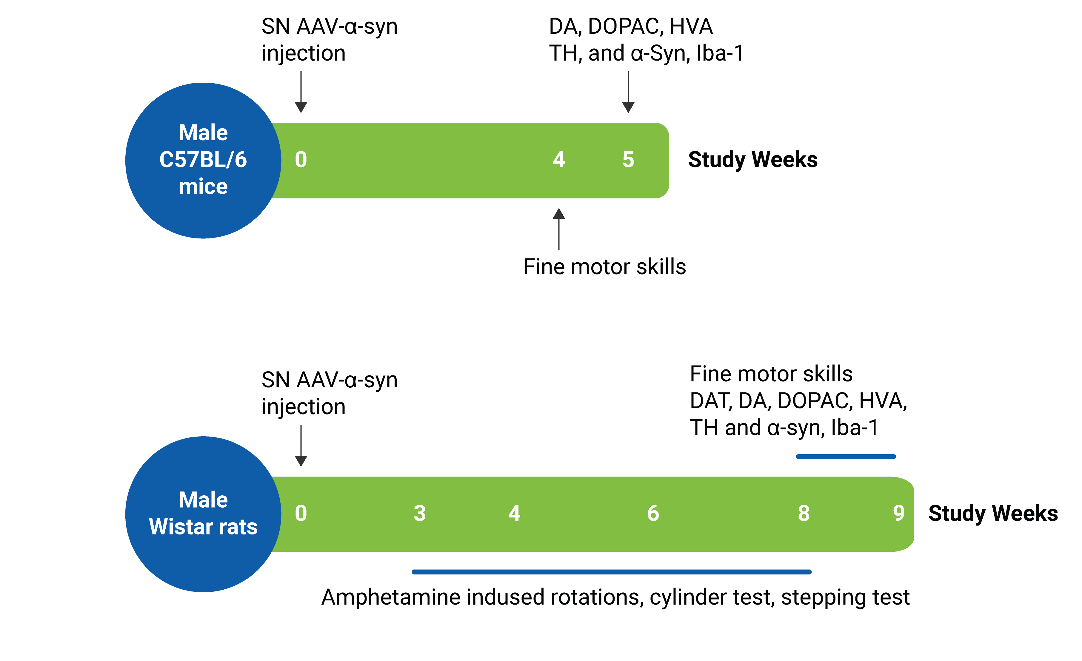Image showing the timeline for the AAV-A53T-aSyn Animal model offered at Charles River. The AAV-A53T-aSyn Animal model is a validated study model that can support your Parkinson's disease research.