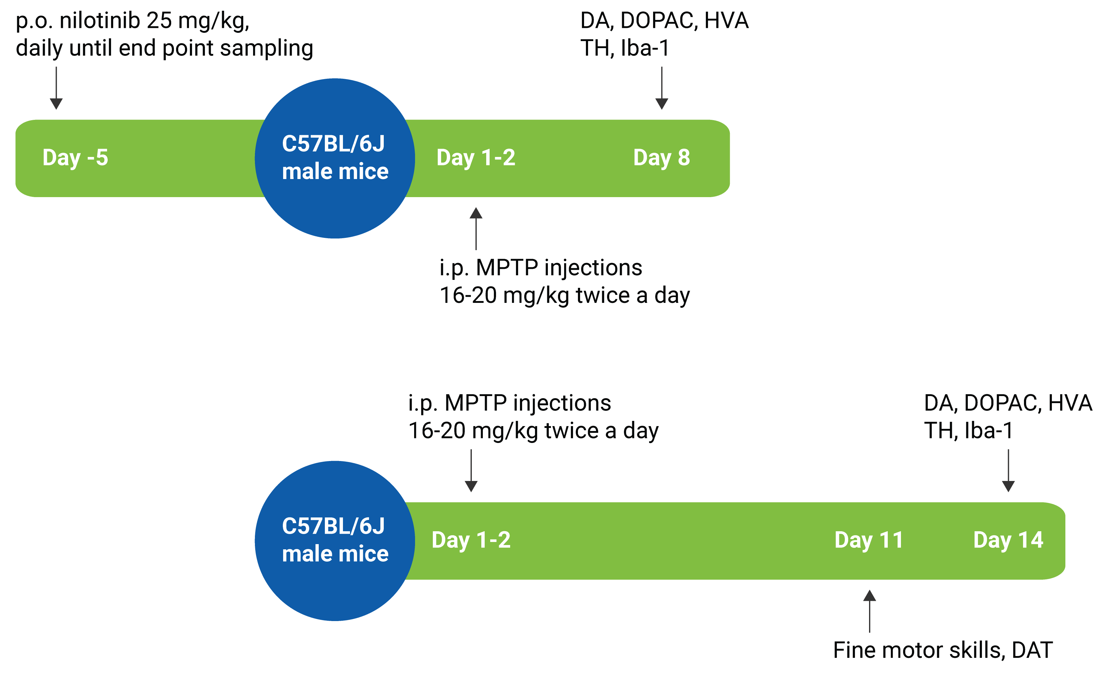 Image showing the timeline for the MPTP Mouse model offered at Charles River. The MPTP Mouse model is a validated study model that can support your Parkinson's Disease research.