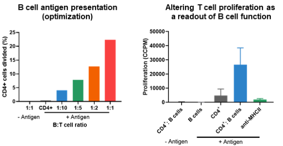 B Cell antigen and T Cell proliferation as a readout of B Cell function.