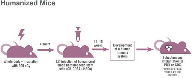 Humanized mouse models can be used for tumor models to screen cancer therapies in an intact human immune system.