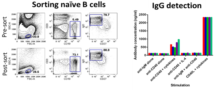 Naïve B cells can isolate and stimulate