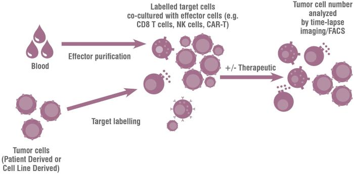 Immune Mediated Tumor Killing Assays to assess an immunotherapy's ability to modulate T cell activity, and aid client's oncology programs.