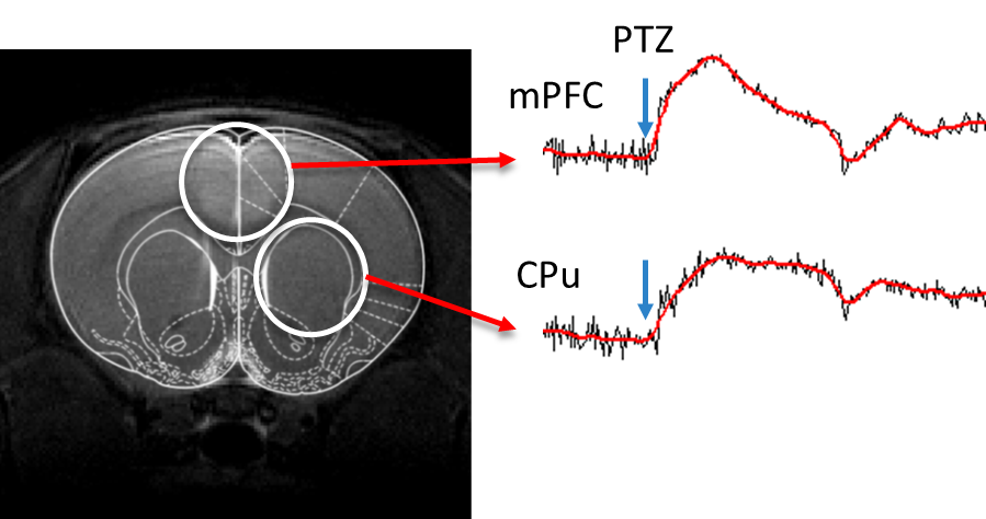 PTZ injection (i.p.) caused a strong BOLD fMRI signal increase in majority of brain areas measured. Readouts taken in 0.4 mm in-plan, 1.2 mm slices at 3 s time resolution.