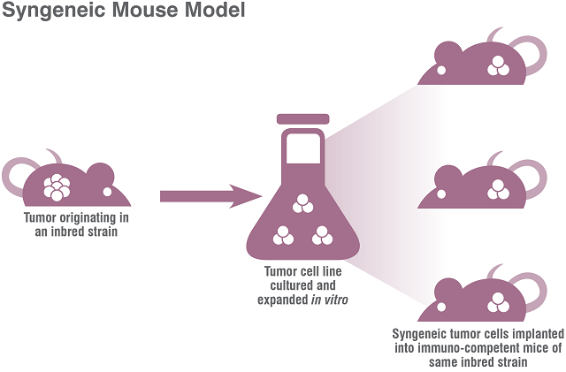 In Syngeneic mouse models (Allograft tumor systems) tumor tissue of the same genetic background is implanted into the mouse.