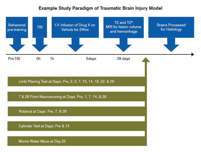 example study paradigm of traumatic brain injury model