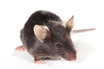 C57BL/6-Aged Mice are helpful for studying age-related diseases