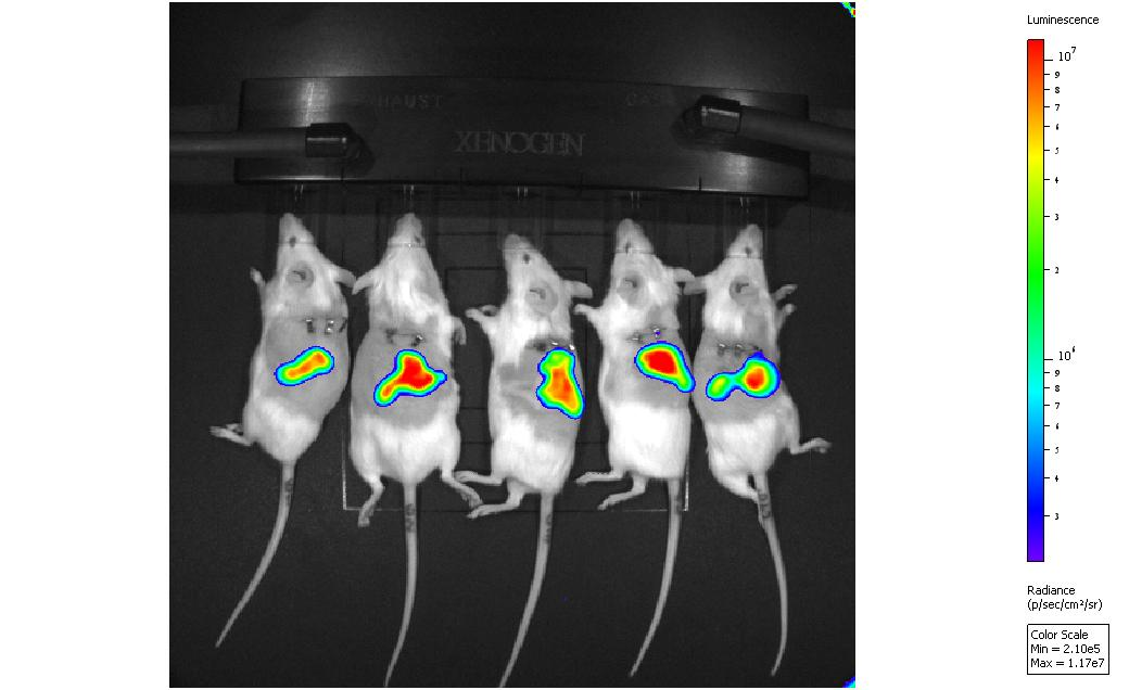 Real-time in vivo bioluminescent imaging (IVIS) of thigh infection in murine models.