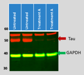 knockdown-tau-western-blot-data.png