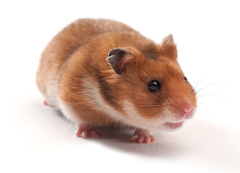 evaluate the LVG Syrian Hamster model to further your research