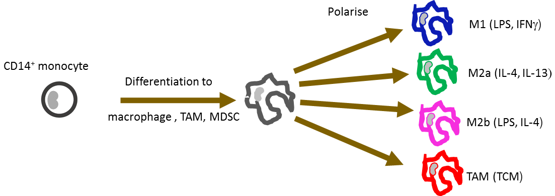 CD14+ monocytes can be differentiated into macrophage or TAM, with a range of characteristics by exposure to human tumor cell supernatants, or to MDSC-like cells, following exposure to GM-CSF and IL-6. Polarisation under different conditions drives macrophage with a range of inflammatory (M1) or anti-inflammatory (M2) phenotypes.