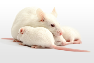 group of white mice