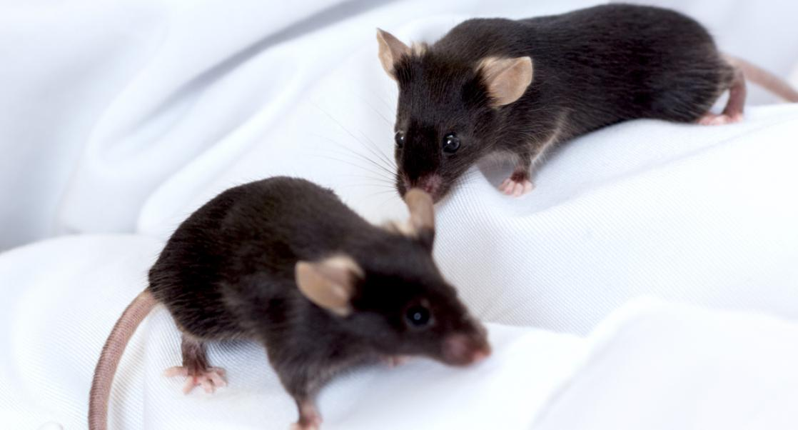 Germ-Free Mice on gloved hand of lab tech