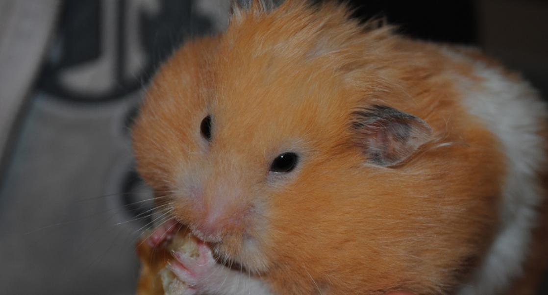 Golden Hamsters are Priceless Models