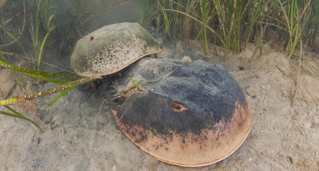 The LAL Industry's Remarkable Stewardship of Horseshoe Crabs