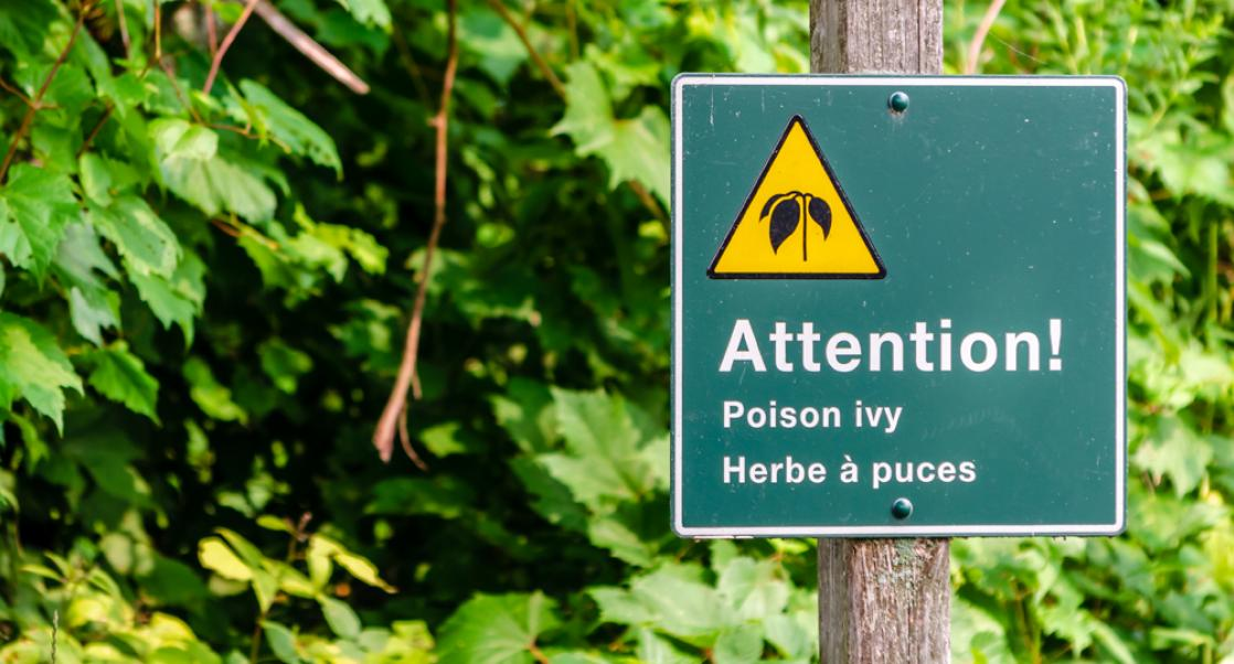Research Notes: A Poison Ivy Model and a Live Therapeutic Treatment
