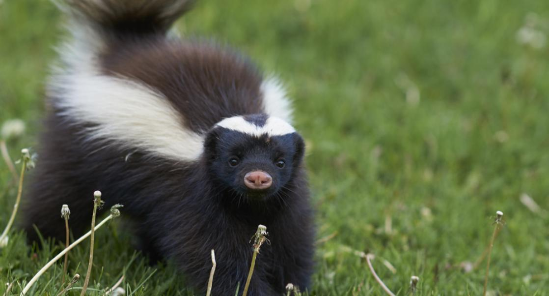 Skunks vs. Spores (Abstract Science August 3-9)