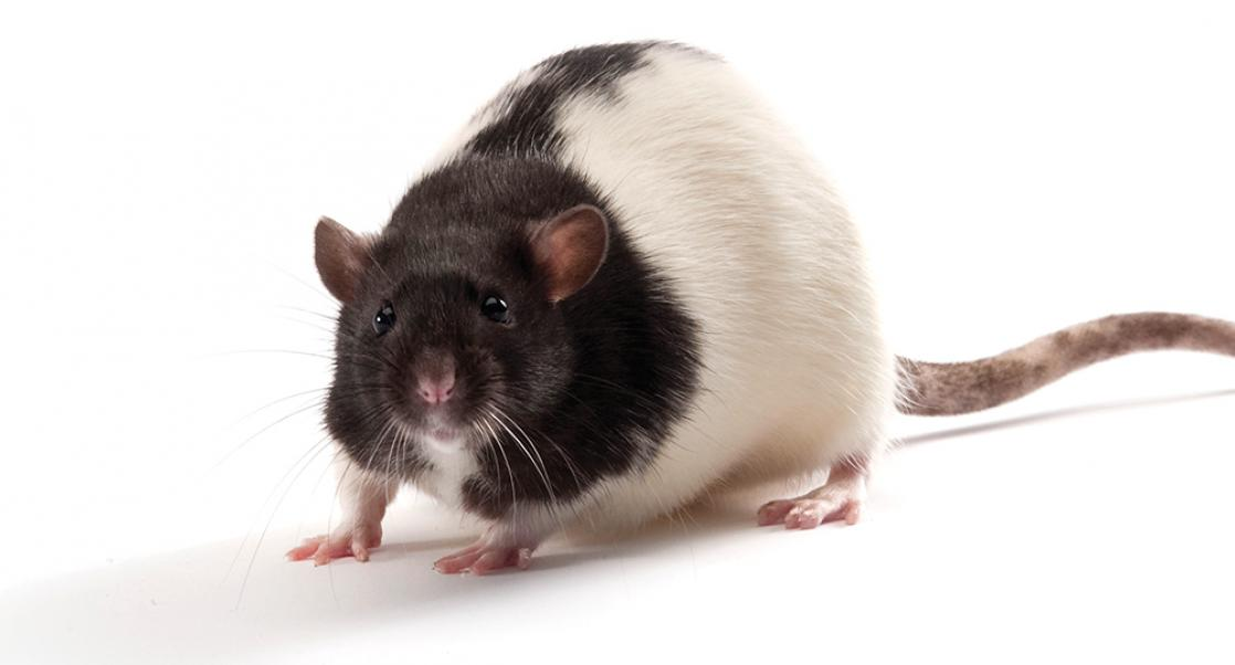 Animal Models of Obesity: A Crash Course