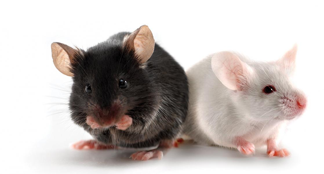 Transgenic Mouse Models as Alternatives