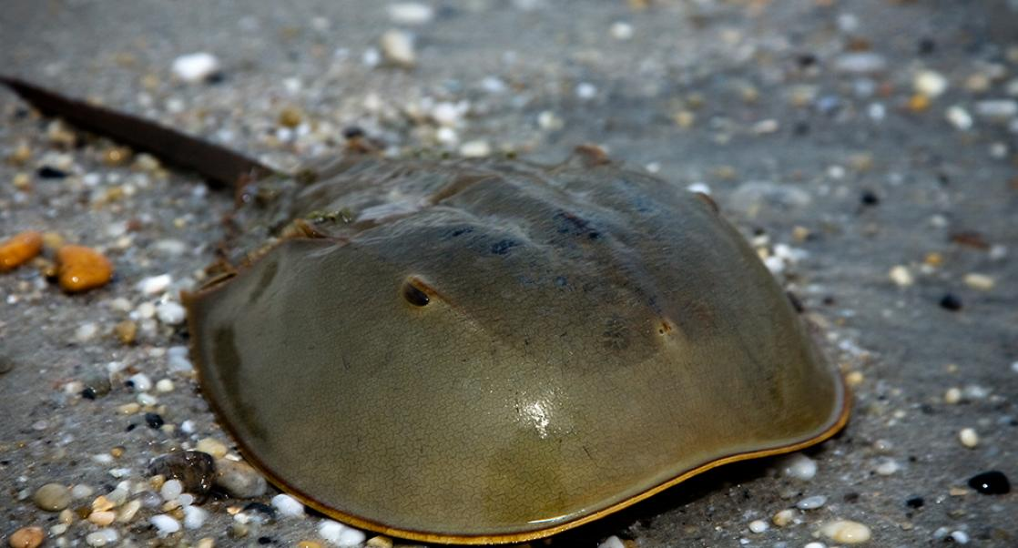 Ever had an Injection? Thank a Horseshoe Crab
