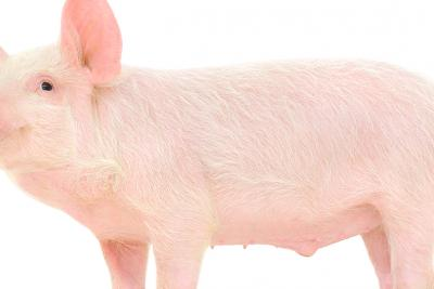 Rethinking the Minipig