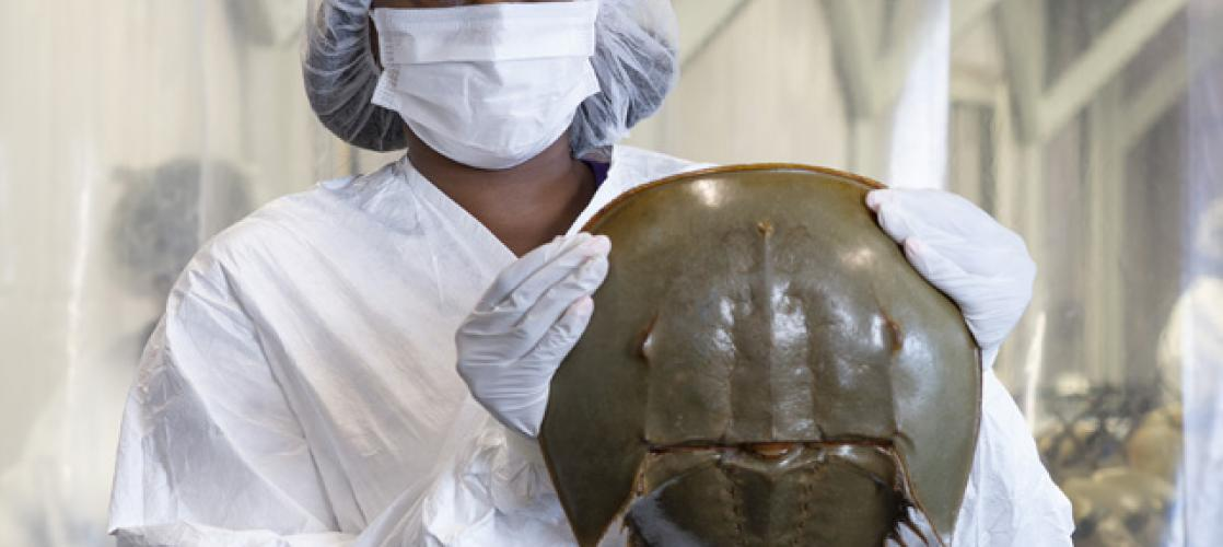 Scientist holds horseshoe crab